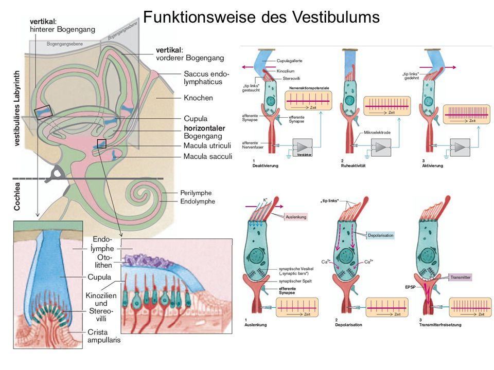 Funktionsweise des Vestibulums