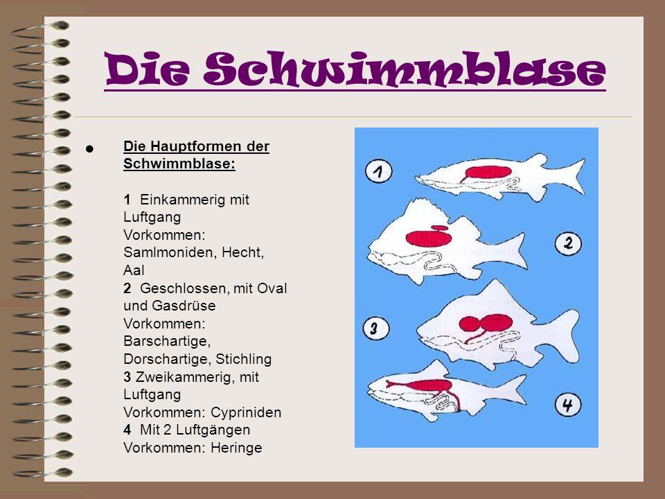 Die Schwimmblase Die Hauptformen der Schwimmblase: 1 Einkammerig mit Luftgang Vorkommen: Samlmoniden, Hecht, Aal 2 Geschlossen, mit Oval und Gasdrüse