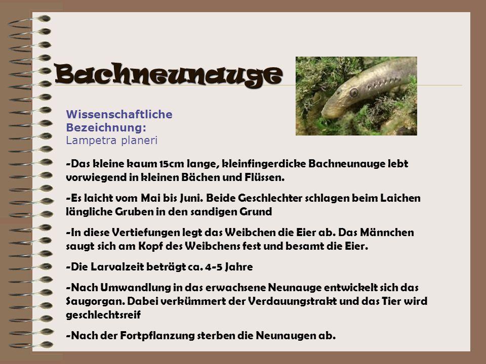 Wissenschaftliche Bezeichnung: Lampetra planeri -Das kleine kaum 15cm lange, kleinfingerdicke Bachneunauge lebt vorwiegend in kleinen Bächen und Flüss