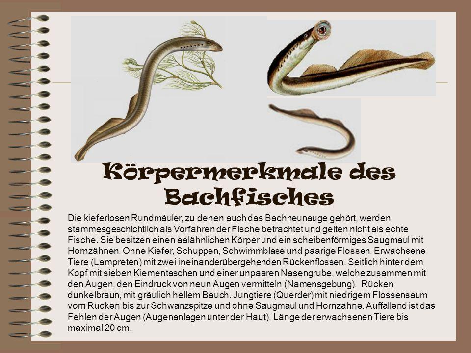 Die kieferlosen Rundmäuler, zu denen auch das Bachneunauge gehört, werden stammesgeschichtlich als Vorfahren der Fische betrachtet und gelten nicht al