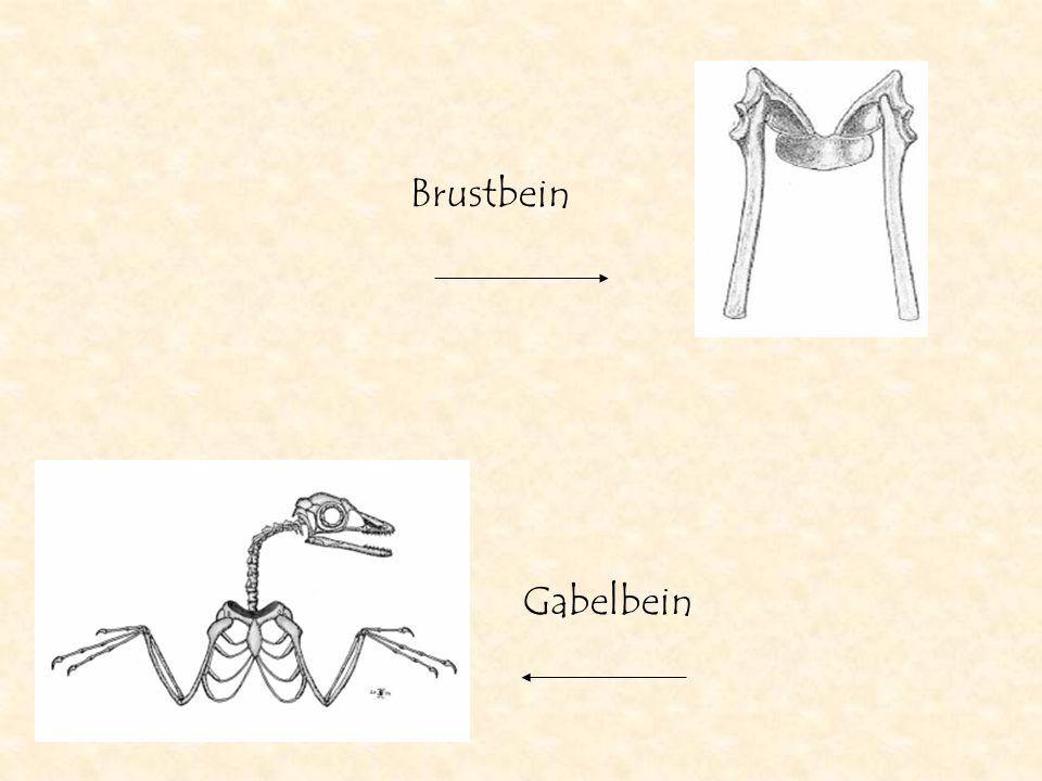 Gabelbein Brustbein