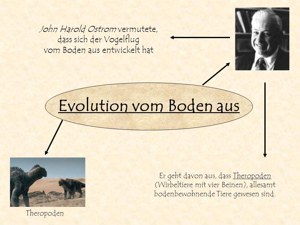 Evolution vom Boden aus John Harold Ostrom vermutete, dass sich der Vogelflug vom Boden aus entwickelt hat Er geht davon aus, dass Theropoden (Wirbelt
