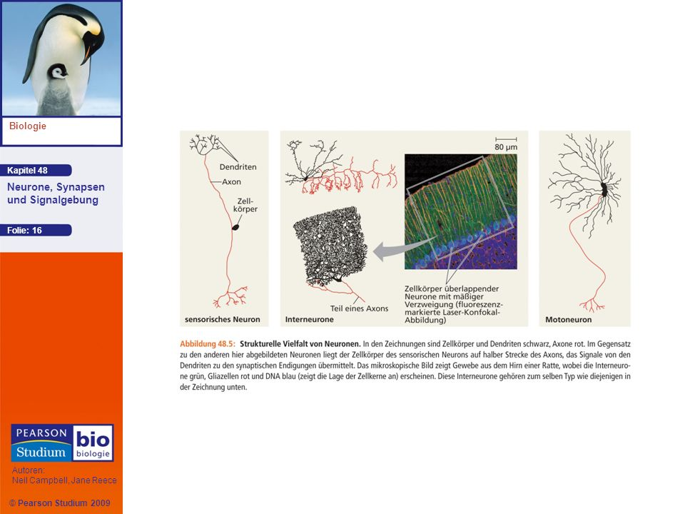Kapitel 48 Biologie Autoren: Neil Campbell, Jane Reece Neurone, Synapsen und Signalgebung © Pearson Studium 2009 Folie: 16