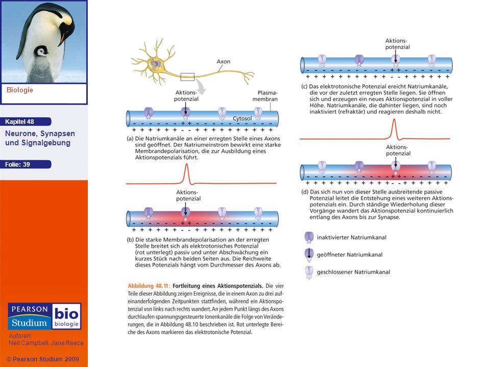 Kapitel 48 Biologie Autoren: Neil Campbell, Jane Reece Neurone, Synapsen und Signalgebung © Pearson Studium 2009 Folie: 39