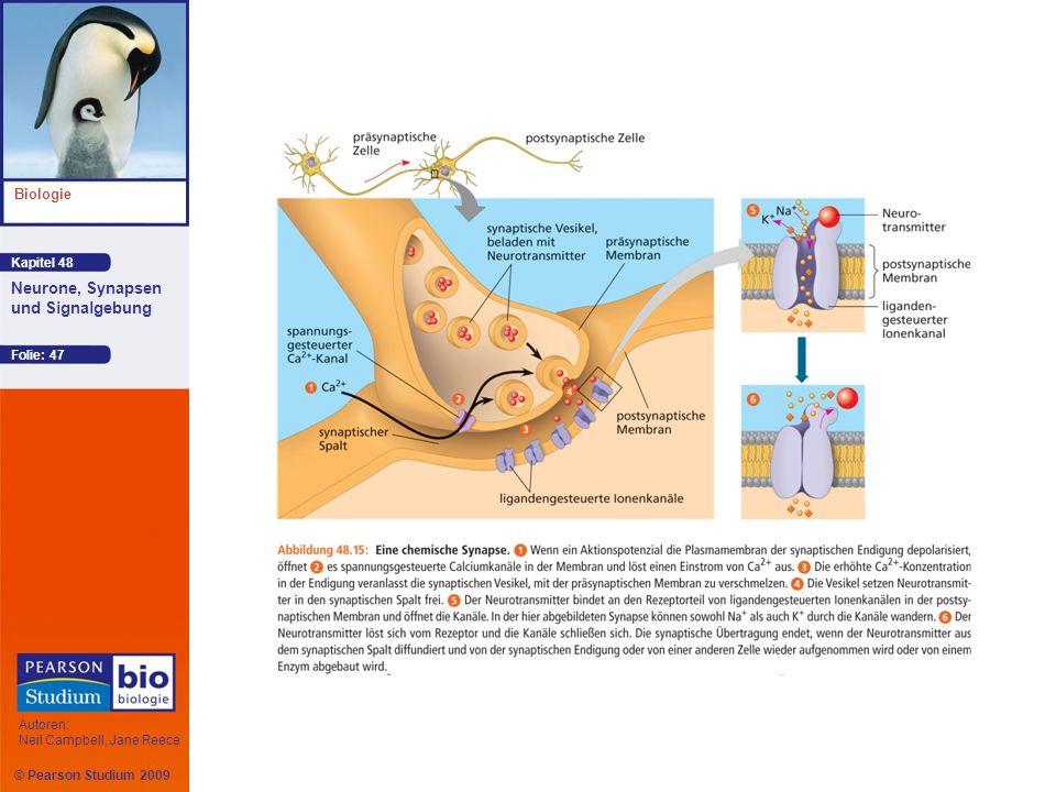 Kapitel 48 Biologie Autoren: Neil Campbell, Jane Reece Neurone, Synapsen und Signalgebung © Pearson Studium 2009 Folie: 47