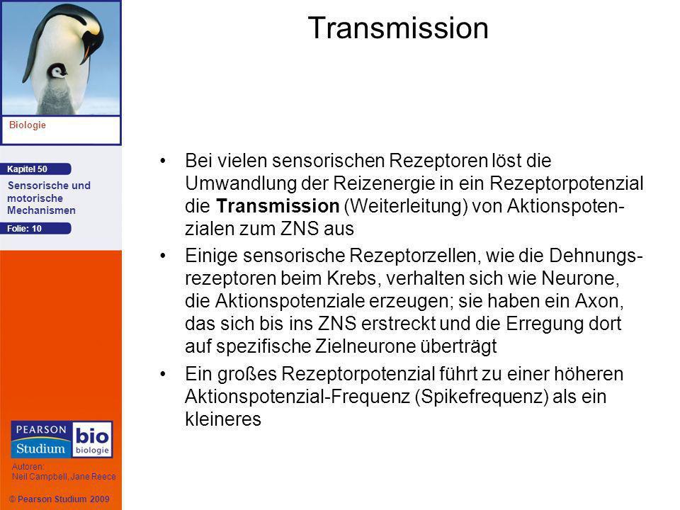 © Pearson Studium 2009 Kapitel 50 Biologie Autoren: Neil Campbell, Jane Reece Sensorische und motorische Mechanismen Folie: 10 Transmission Bei vielen sensorischen Rezeptoren löst die Umwandlung der Reizenergie in ein Rezeptorpotenzial die Transmission (Weiterleitung) von Aktionspoten- zialen zum ZNS aus Einige sensorische Rezeptorzellen, wie die Dehnungs- rezeptoren beim Krebs, verhalten sich wie Neurone, die Aktionspotenziale erzeugen; sie haben ein Axon, das sich bis ins ZNS erstreckt und die Erregung dort auf spezifische Zielneurone überträgt Ein großes Rezeptorpotenzial führt zu einer höheren Aktionspotenzial-Frequenz (Spikefrequenz) als ein kleineres