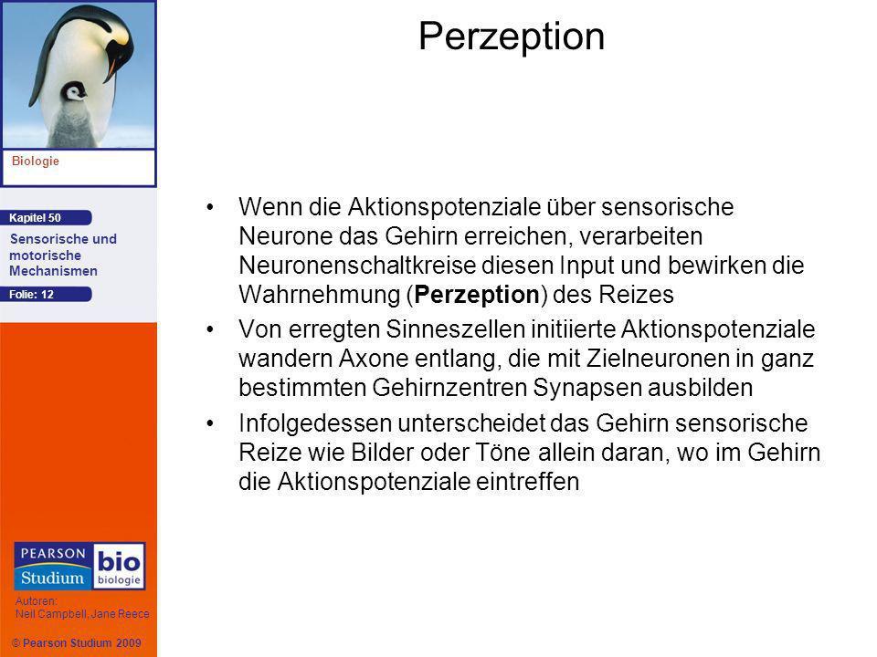 © Pearson Studium 2009 Kapitel 50 Biologie Autoren: Neil Campbell, Jane Reece Sensorische und motorische Mechanismen Folie: 12 Perzeption Wenn die Akt