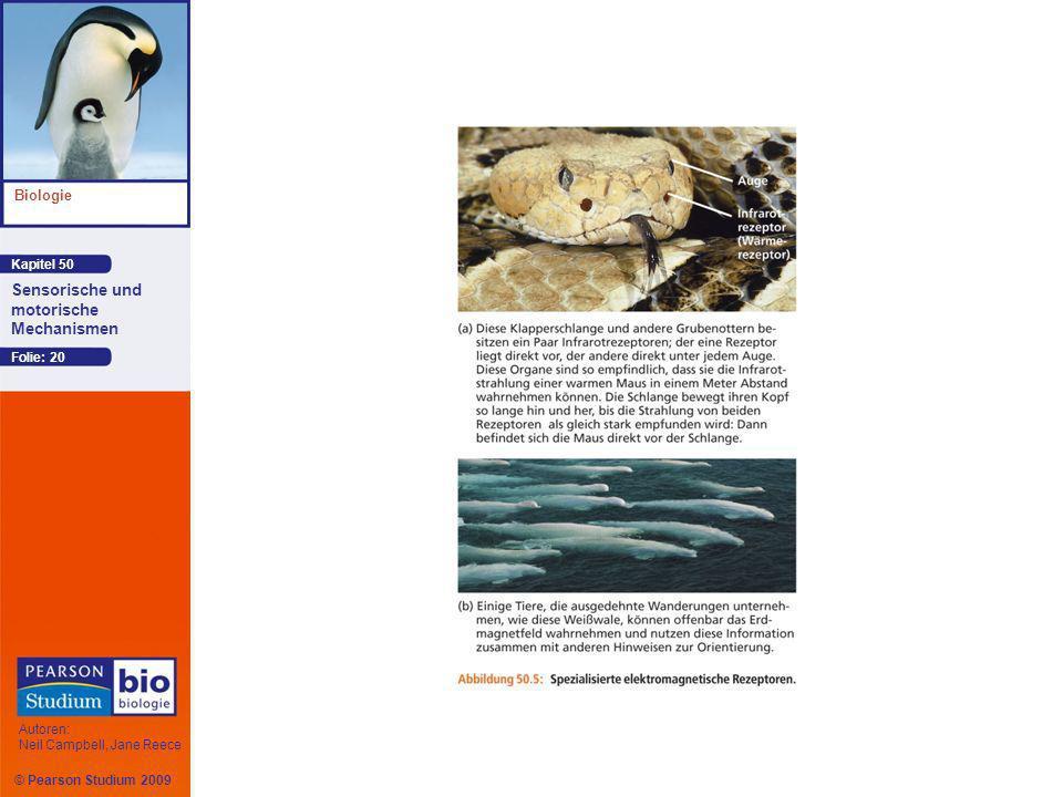 Kapitel 50 Biologie Autoren: Neil Campbell, Jane Reece Sensorische und motorische Mechanismen © Pearson Studium 2009 Folie: 20