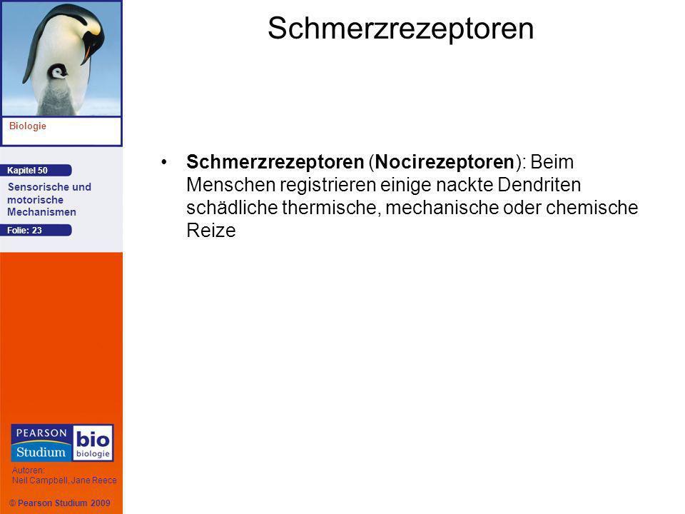 © Pearson Studium 2009 Kapitel 50 Biologie Autoren: Neil Campbell, Jane Reece Sensorische und motorische Mechanismen Folie: 23 Schmerzrezeptoren Schmerzrezeptoren (Nocirezeptoren): Beim Menschen registrieren einige nackte Dendriten schädliche thermische, mechanische oder chemische Reize