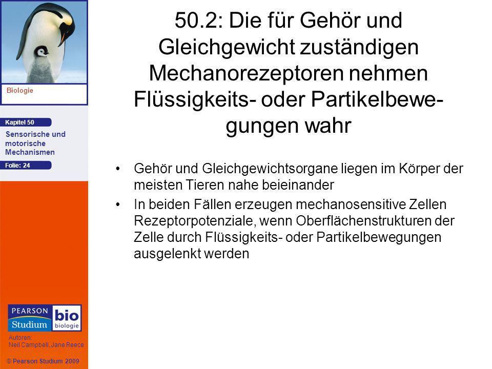 © Pearson Studium 2009 Kapitel 50 Biologie Autoren: Neil Campbell, Jane Reece Sensorische und motorische Mechanismen Folie: 24 50.2: Die für Gehör und