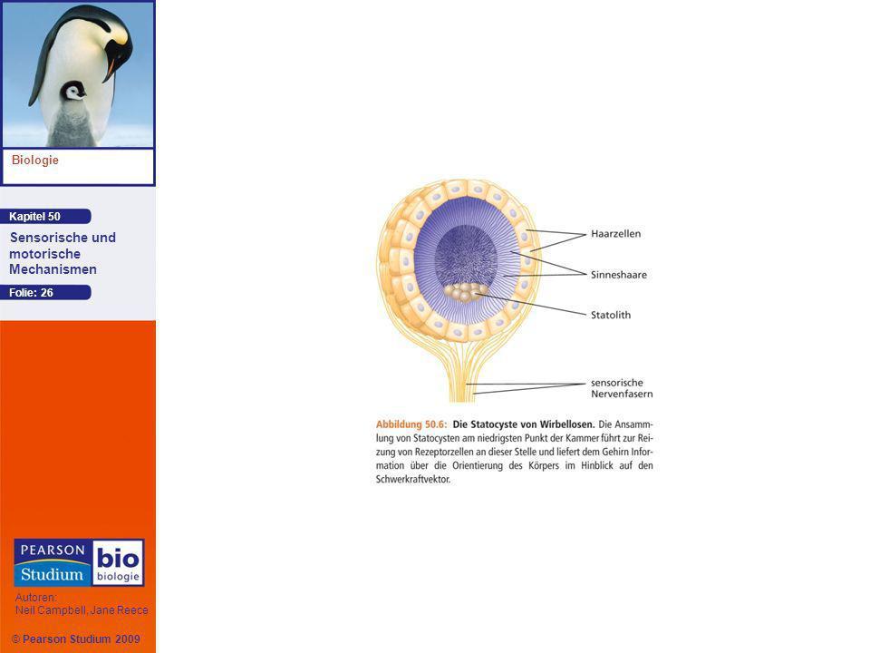Kapitel 50 Biologie Autoren: Neil Campbell, Jane Reece Sensorische und motorische Mechanismen © Pearson Studium 2009 Folie: 26