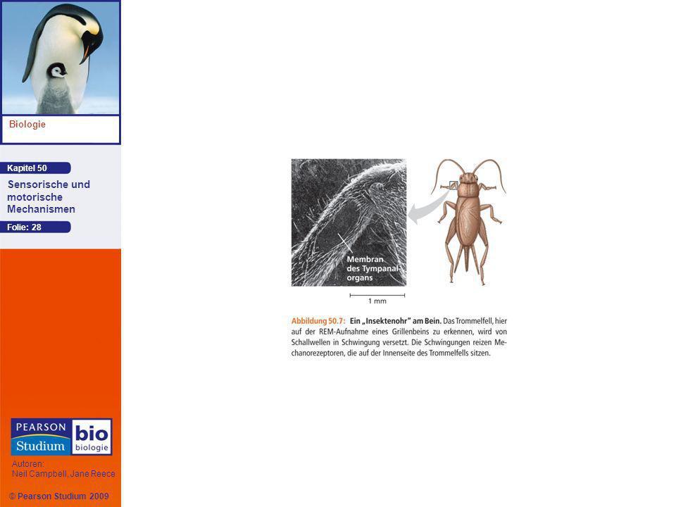 Kapitel 50 Biologie Autoren: Neil Campbell, Jane Reece Sensorische und motorische Mechanismen © Pearson Studium 2009 Folie: 28