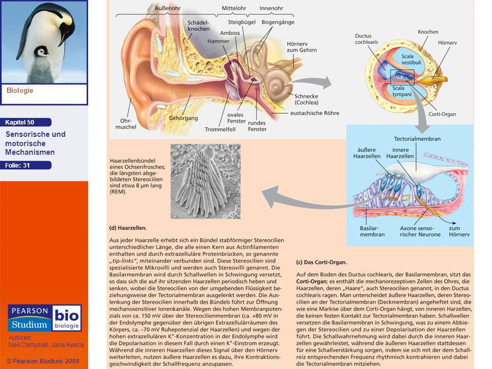 Kapitel 50 Biologie Autoren: Neil Campbell, Jane Reece Sensorische und motorische Mechanismen © Pearson Studium 2009 Folie: 31
