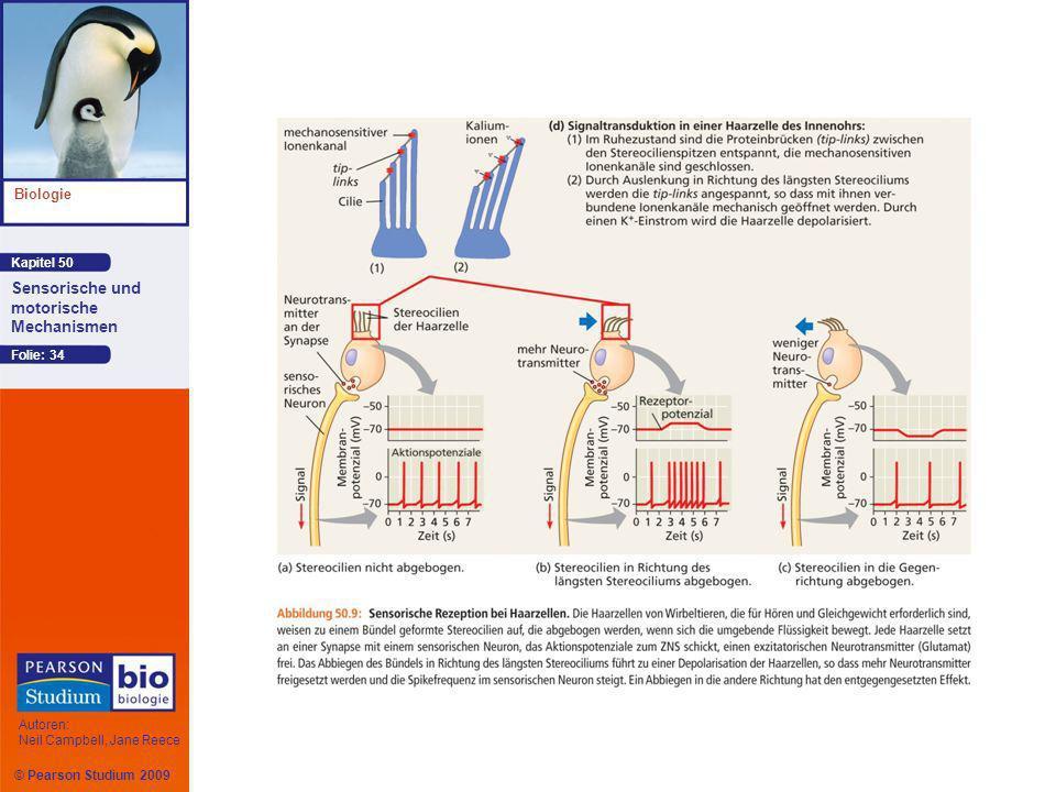 Kapitel 50 Biologie Autoren: Neil Campbell, Jane Reece Sensorische und motorische Mechanismen © Pearson Studium 2009 Folie: 34
