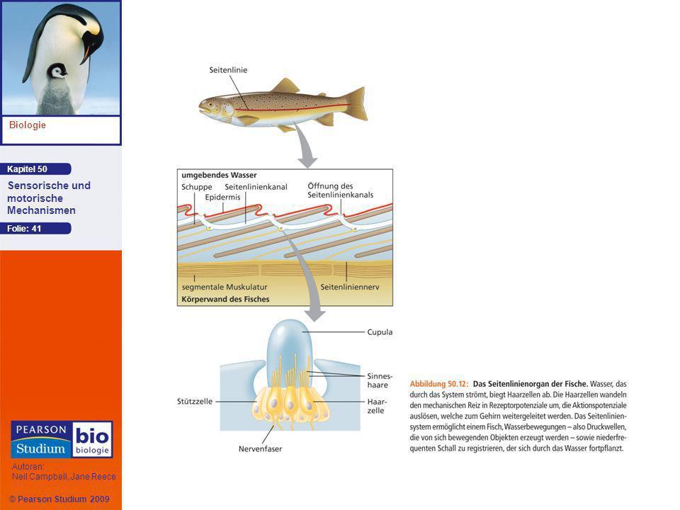 Kapitel 50 Biologie Autoren: Neil Campbell, Jane Reece Sensorische und motorische Mechanismen © Pearson Studium 2009 Folie: 41