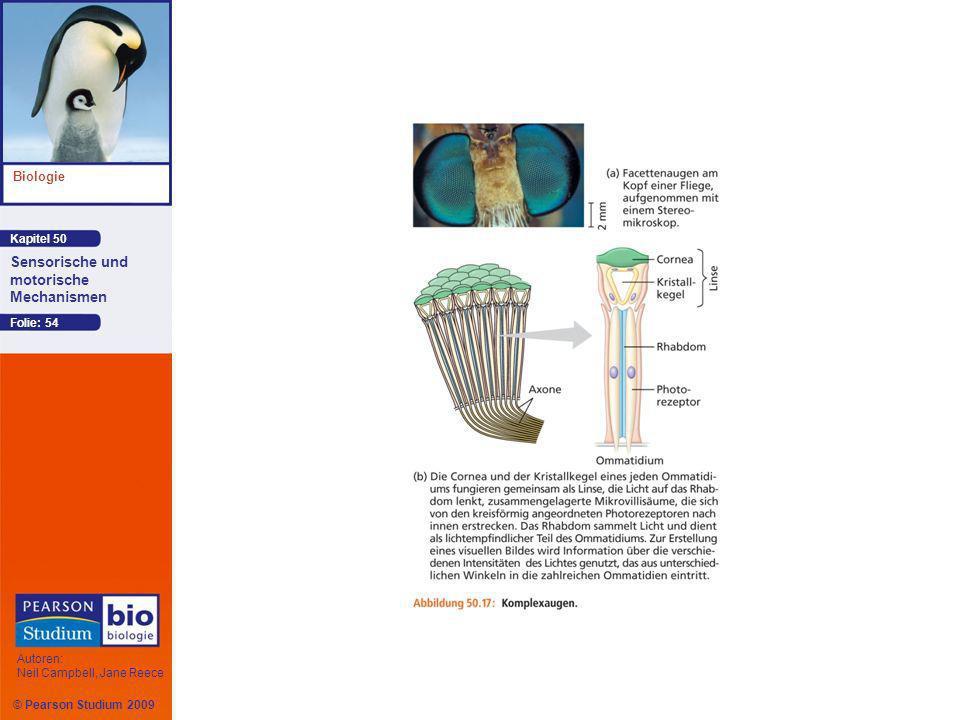 Kapitel 50 Biologie Autoren: Neil Campbell, Jane Reece Sensorische und motorische Mechanismen © Pearson Studium 2009 Folie: 54