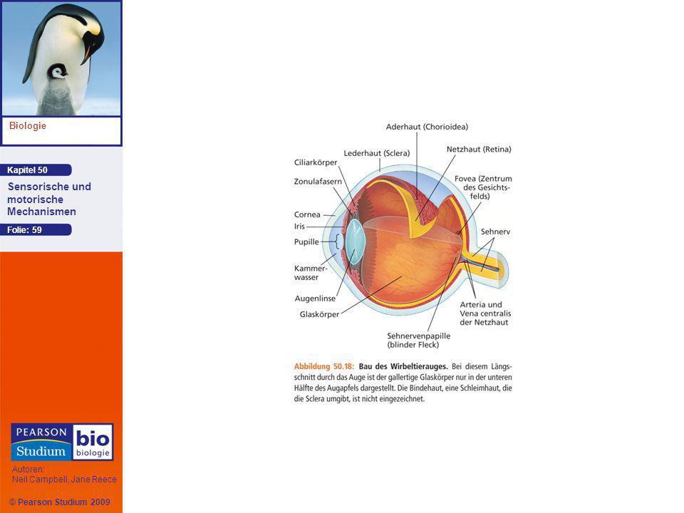 Kapitel 50 Biologie Autoren: Neil Campbell, Jane Reece Sensorische und motorische Mechanismen © Pearson Studium 2009 Folie: 59