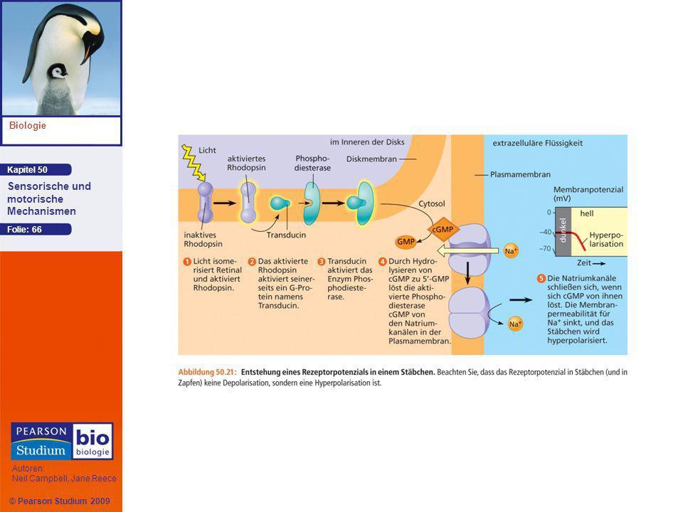 Kapitel 50 Biologie Autoren: Neil Campbell, Jane Reece Sensorische und motorische Mechanismen © Pearson Studium 2009 Folie: 66