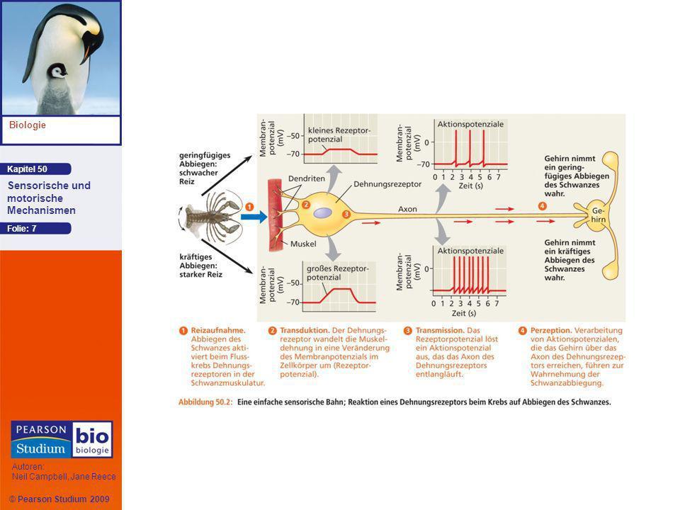 © Pearson Studium 2009 Kapitel 50 Biologie Autoren: Neil Campbell, Jane Reece Sensorische und motorische Mechanismen Folie: 48 Der Geruchssinn des Menschen Olfaktorische Rezeptorzellen (Riechzellen) kleiden den oberen Teil der Nasenhöhle aus und senden über ihre Axone Impulse direkt zum Riechkolben Wenn ein Geruchsstoff in diese Region diffundiert, bindet er an ein spezifisches GPCR-Protein, einen so genannten Geruchsrezeptor auf der Plasmamembran der olfaktorischen Cilien.