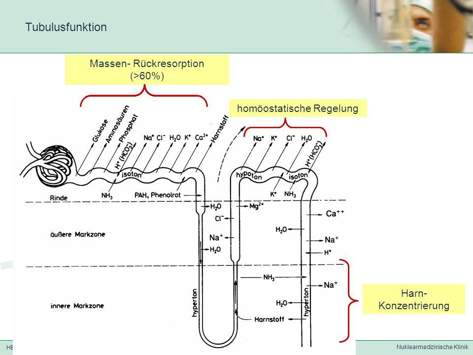 HELIOS Klinikum Berlin-Buch Nuklearmedizinische Klinik Harn- Konzentrierung Massen- Rückresorption (>60%) homöostatische Regelung Tubulusfunktion