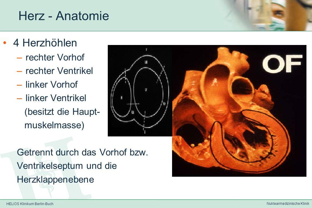 HELIOS Klinikum Berlin-Buch Nuklearmedizinische Klinik Herz - Anatomie Lage: –Im Mediastinum –Herzachse gekippt von hinten oben rechts (Herzbasis) nac