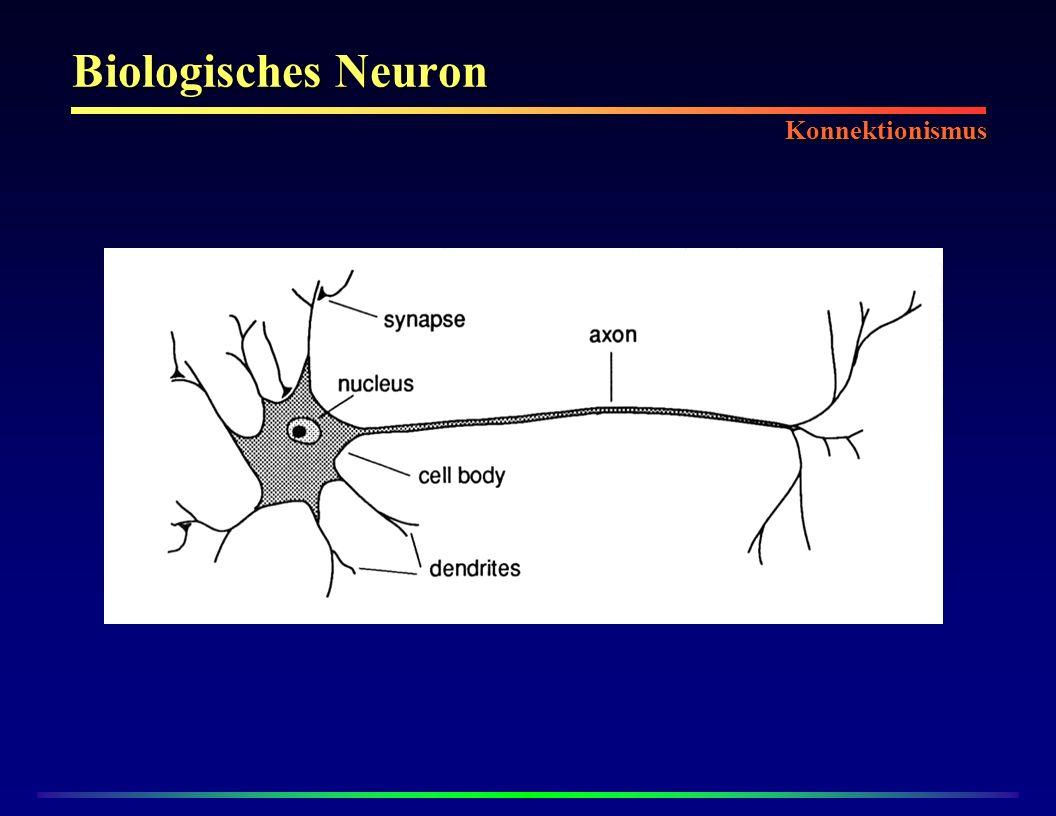 Biologisches Neuron Konnektionismus