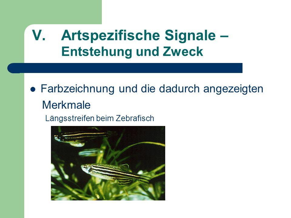 V.Artspezifische Signale – Entstehung und Zweck Farbzeichnung und die dadurch angezeigten Merkmale Längsstreifen beim Zebrafisch
