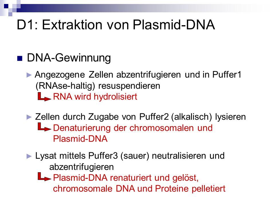 Säule mit Elutionspuffer EB (1,4 M NaCl) eluieren Plasmid-DNA wird aus der Säule in Eppi gewonnen Säule mit PE-Puffer (1,2 M NaCl) waschen und zentrifugieren alle Moleküle < Plasmid-DNA werden ausgewaschen Überstand auf QIAprep Spinsäule (Kationenaustauscher) geben und zentrifugieren gelöste Zellbestandteile ordnen sich ihrer Größe entsprechend an D1: Extraktion von Plasmid-DNA