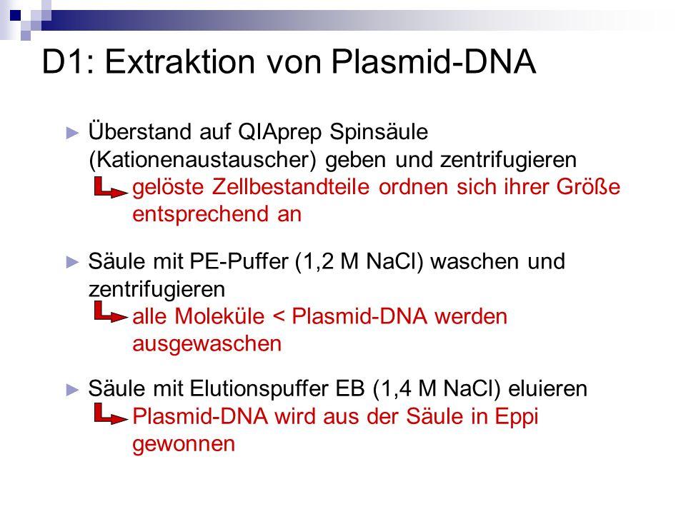 D2: Agarose-Gelelektrophorese Überprüfung der Reinheit und Konzentration der gewonnenen Plasmid-DNA Taschenbelegung: - 2 µl Aliquots der extrahierten Plasmide (mit Bromphenolblau angefärbt) - 5 µl DNA-Ladepuffer pro Gel zwei Konzentrationsstandarts bekannter Plasmid-DNA (=Marker)