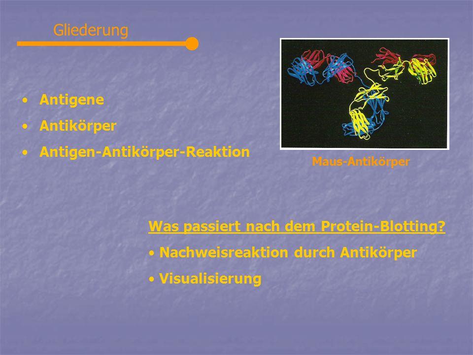Gliederung Antigene Antikörper Antigen-Antikörper-Reaktion Was passiert nach dem Protein-Blotting? Nachweisreaktion durch Antikörper Visualisierung Ma