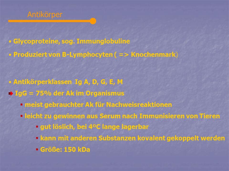 Antikörper Glycoproteine, sog. Immunglobuline Produziert von B-Lymphocyten ( => Knochenmark) Antikörperklassen Ig A, D, G, E, M IgG = 75% der Ak im Or