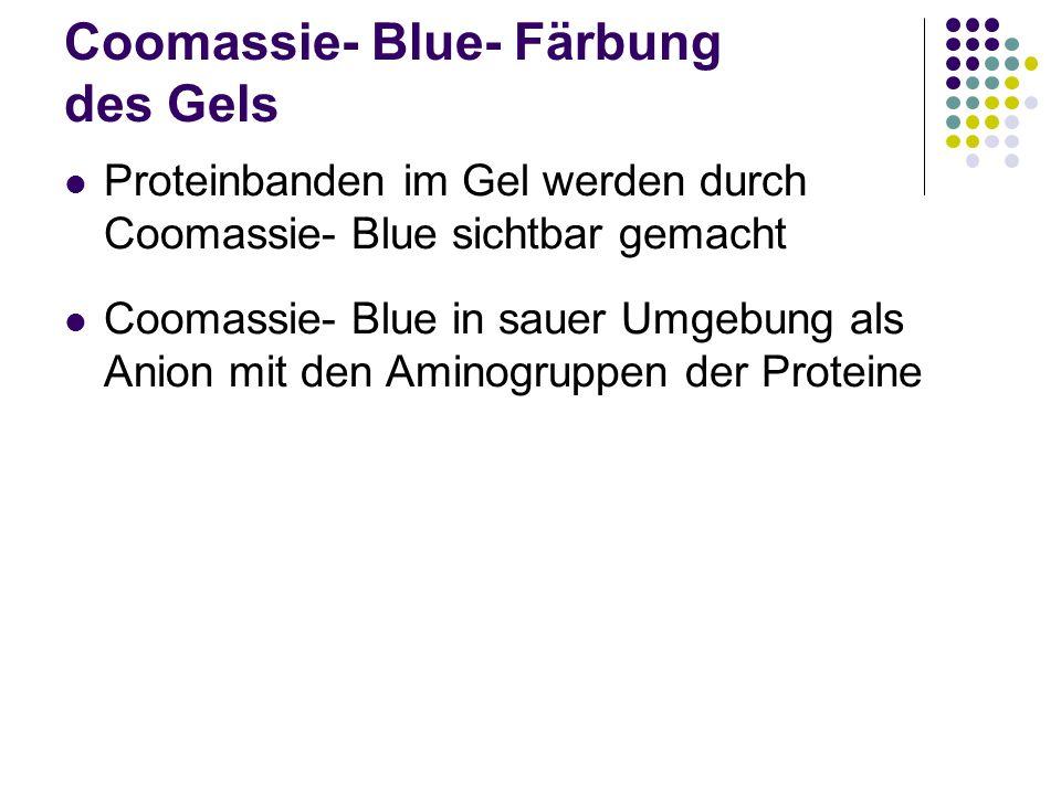 Coomassie- Blue- Färbung des Gels Proteinbanden im Gel werden durch Coomassie- Blue sichtbar gemacht Coomassie- Blue in sauer Umgebung als Anion mit d