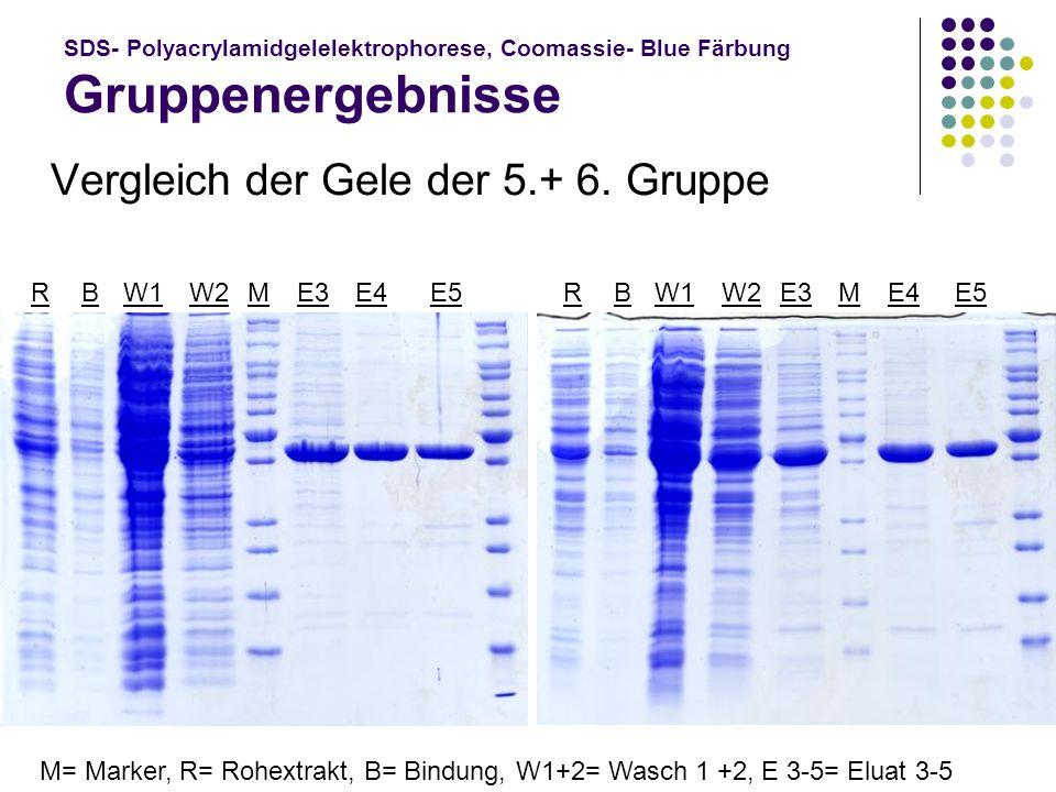 SDS- Polyacrylamidgelelektrophorese, Coomassie- Blue Färbung Gruppenergebnisse Vergleich der Gele der 5.+ 6. Gruppe E4 W2 W1 BBMME3 M= Marker, R= Rohe