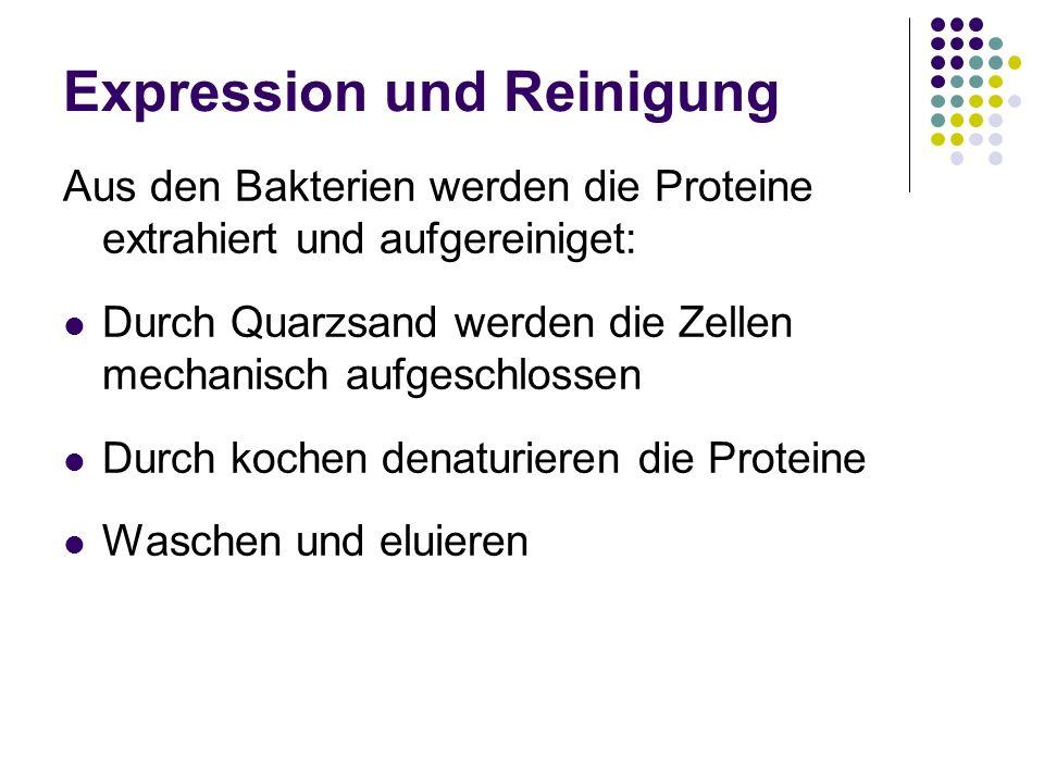 Expression und Reinigung Aus den Bakterien werden die Proteine extrahiert und aufgereiniget: Durch Quarzsand werden die Zellen mechanisch aufgeschloss