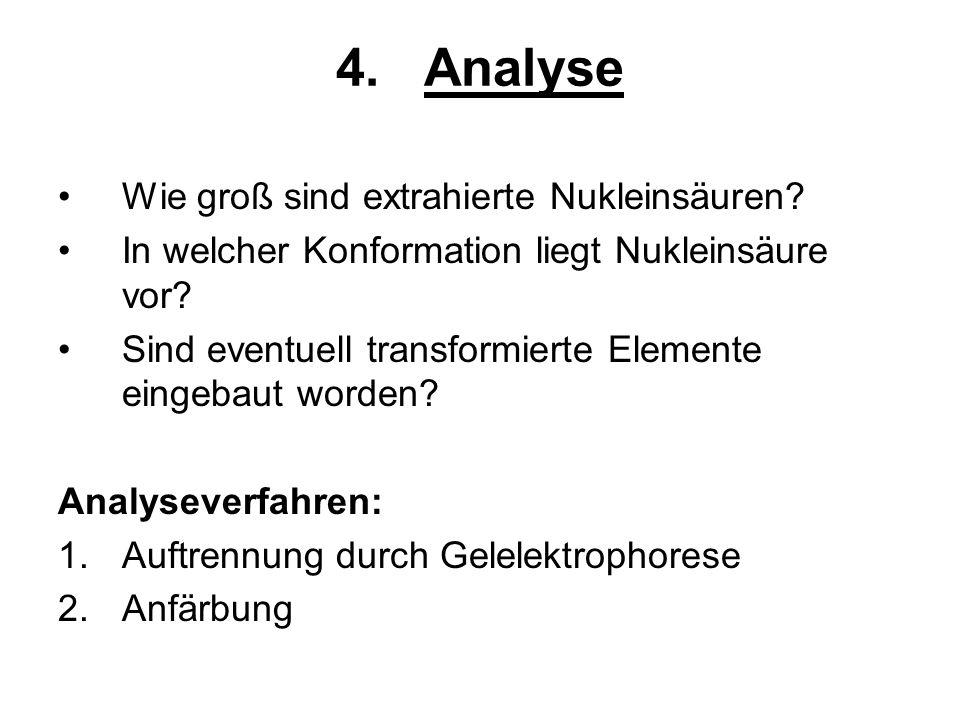 4.Analyse Wie groß sind extrahierte Nukleinsäuren? In welcher Konformation liegt Nukleinsäure vor? Sind eventuell transformierte Elemente eingebaut wo