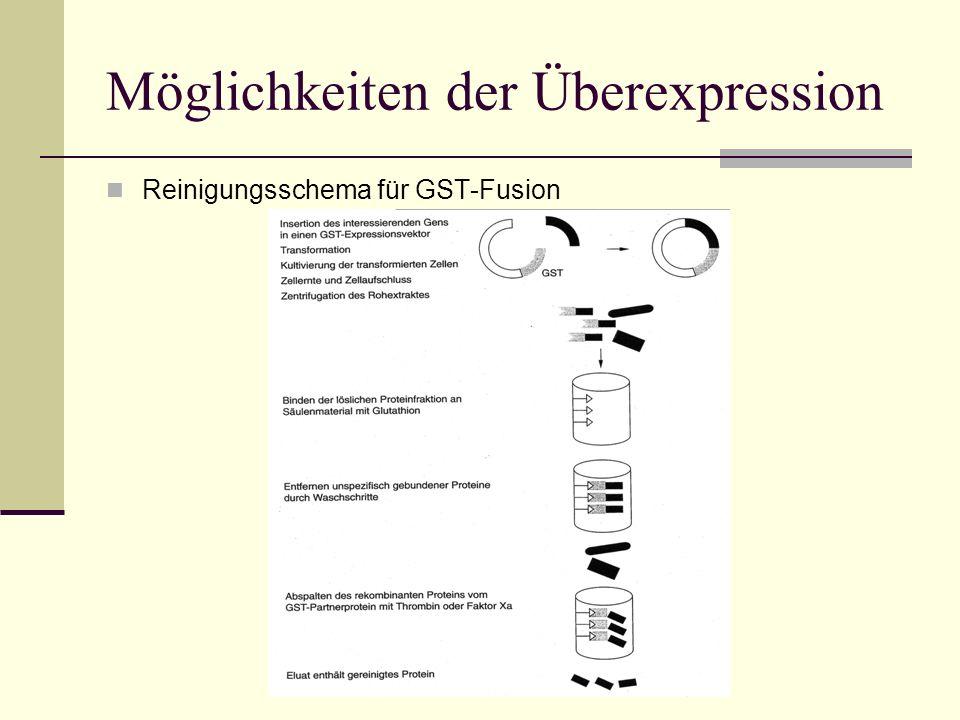 Möglichkeiten der Überexpression Reinigungsschema für GST-Fusion