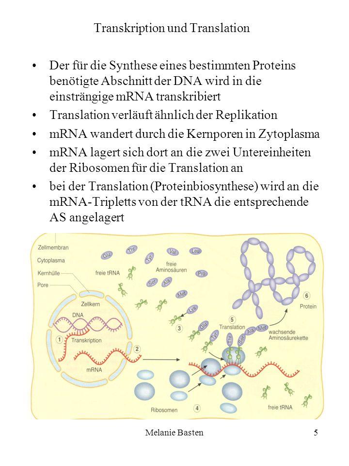 Melanie Basten5 Transkription und Translation Der für die Synthese eines bestimmten Proteins benötigte Abschnitt der DNA wird in die einsträngige mRNA
