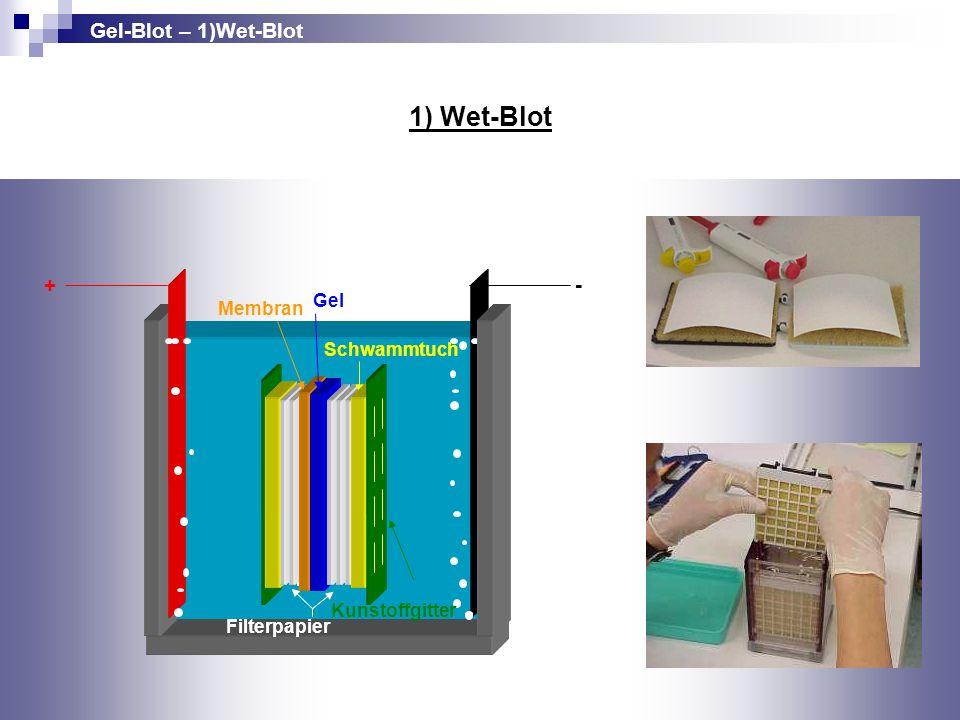 Membran Gel + - Filterpapier Schwammtuch Kunstoffgitter 1) Wet-Blot Gel-Blot – 1)Wet-Blot