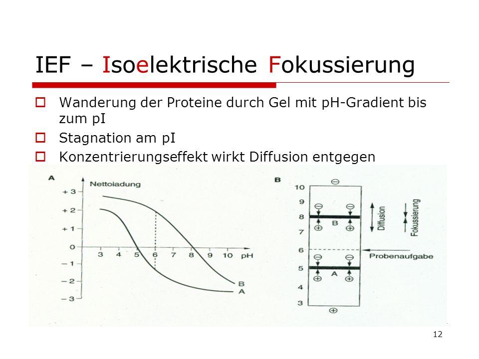 12 IEF – Isoelektrische Fokussierung Wanderung der Proteine durch Gel mit pH-Gradient bis zum pI Stagnation am pI Konzentrierungseffekt wirkt Diffusio