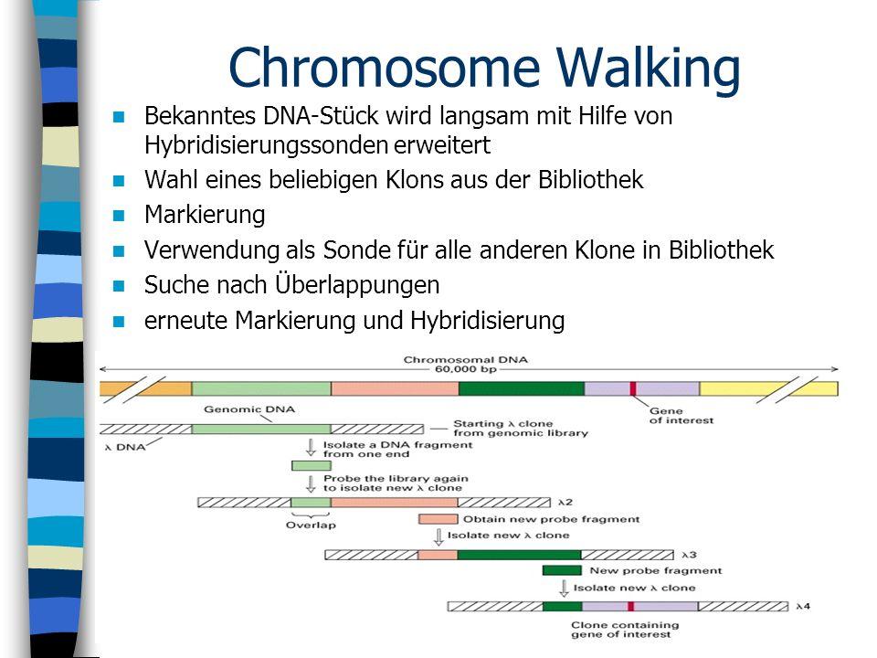 Chromosome Walking Bekanntes DNA-Stück wird langsam mit Hilfe von Hybridisierungssonden erweitert Wahl eines beliebigen Klons aus der Bibliothek Marki
