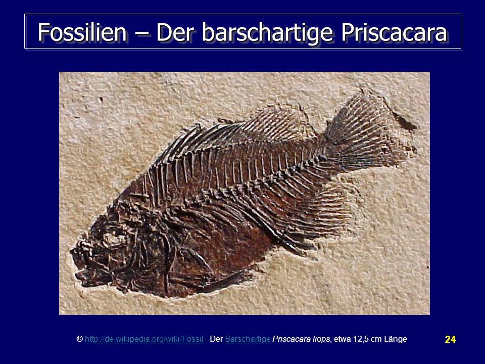 24 Fossilien – Der barschartige Priscacara © http://de.wikipedia.org/wiki/Fossil - Der Barschartige Priscacara liops, etwa 12,5 cm Längehttp://de.wiki