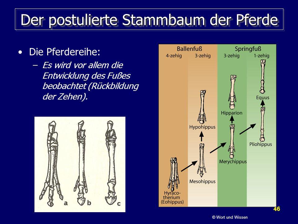 46 Der postulierte Stammbaum der Pferde Die Pferdereihe: –Es wird vor allem die Entwicklung des Fußes beobachtet (Rückbildung der Zehen). © Wort und W