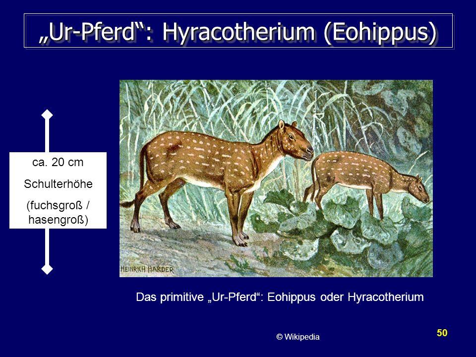 50 Ur-Pferd: Hyracotherium (Eohippus) Das primitive Ur-Pferd: Eohippus oder Hyracotherium ca. 20 cm Schulterhöhe (fuchsgroß / hasengroß) © Wikipedia