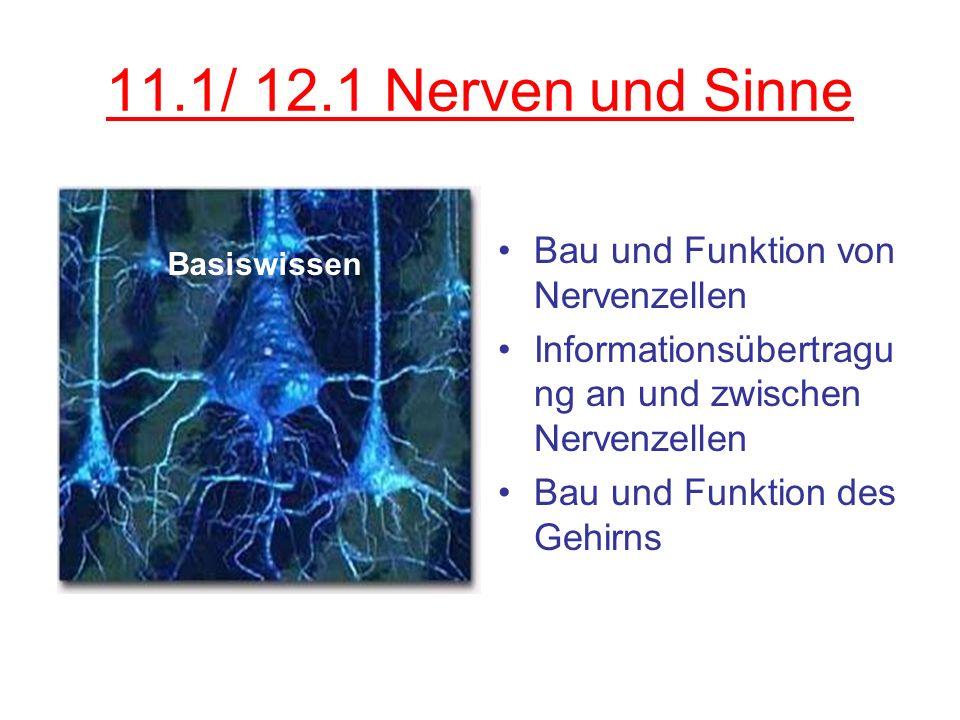11.1/ 12.1 Nerven und Sinne Bau und Funktion von Nervenzellen Informationsübertragu ng an und zwischen Nervenzellen Bau und Funktion des Gehirns Basis