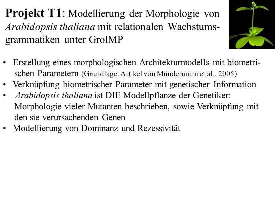 Projekt T1: Modellierung der Morphologie von Arabidopsis thaliana mit relationalen Wachstums- grammatiken unter GroIMP Erstellung eines morphologischen Architekturmodells mit biometri- schen Parametern (Grundlage: Artikel von Mündermann et al., 2005) Verknüpfung biometrischer Parameter mit genetischer Information Arabidopsis thaliana ist DIE Modellpflanze der Genetiker: Morphologie vieler Mutanten beschrieben, sowie Verknüpfung mit den sie verursachenden Genen Modellierung von Dominanz und Rezessivität