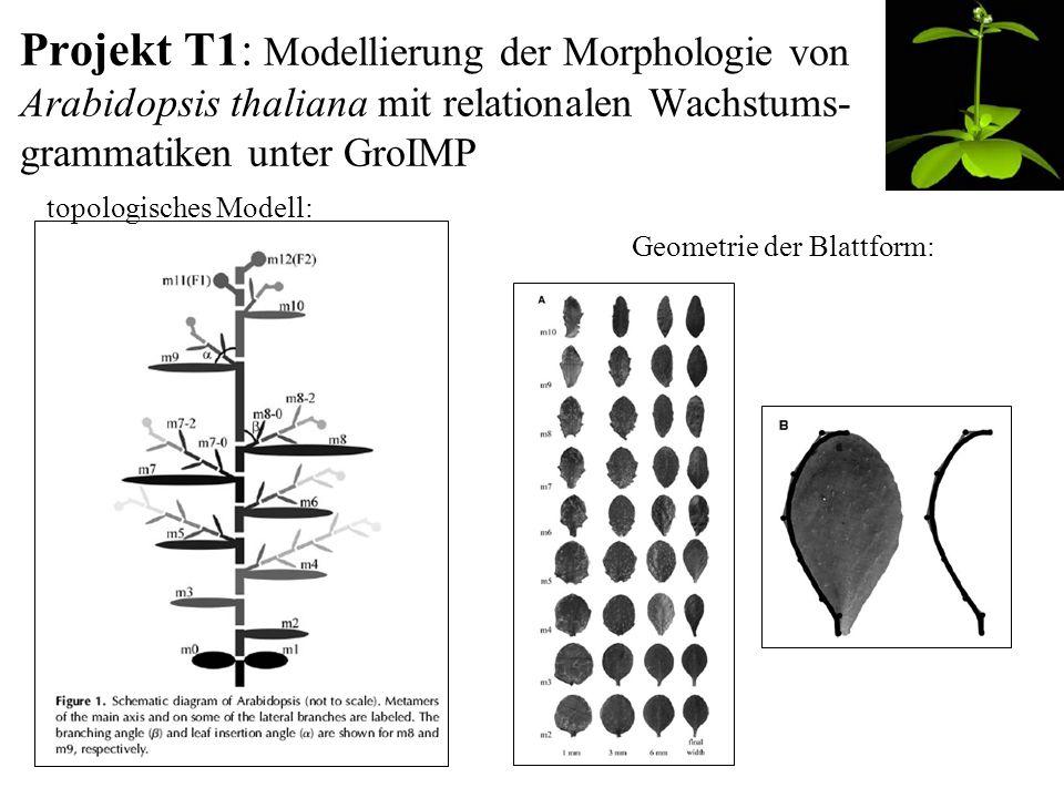 Projekt T1: Modellierung der Morphologie von Arabidopsis thaliana mit relationalen Wachstums- grammatiken unter GroIMP topologisches Modell: Geometrie der Blattform: