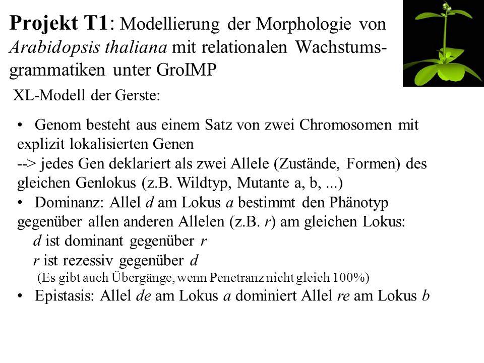 Projekt T1: Modellierung der Morphologie von Arabidopsis thaliana mit relationalen Wachstums- grammatiken unter GroIMP XL-Modell der Gerste: Genom besteht aus einem Satz von zwei Chromosomen mit explizit lokalisierten Genen --> jedes Gen deklariert als zwei Allele (Zustände, Formen) des gleichen Genlokus (z.B.