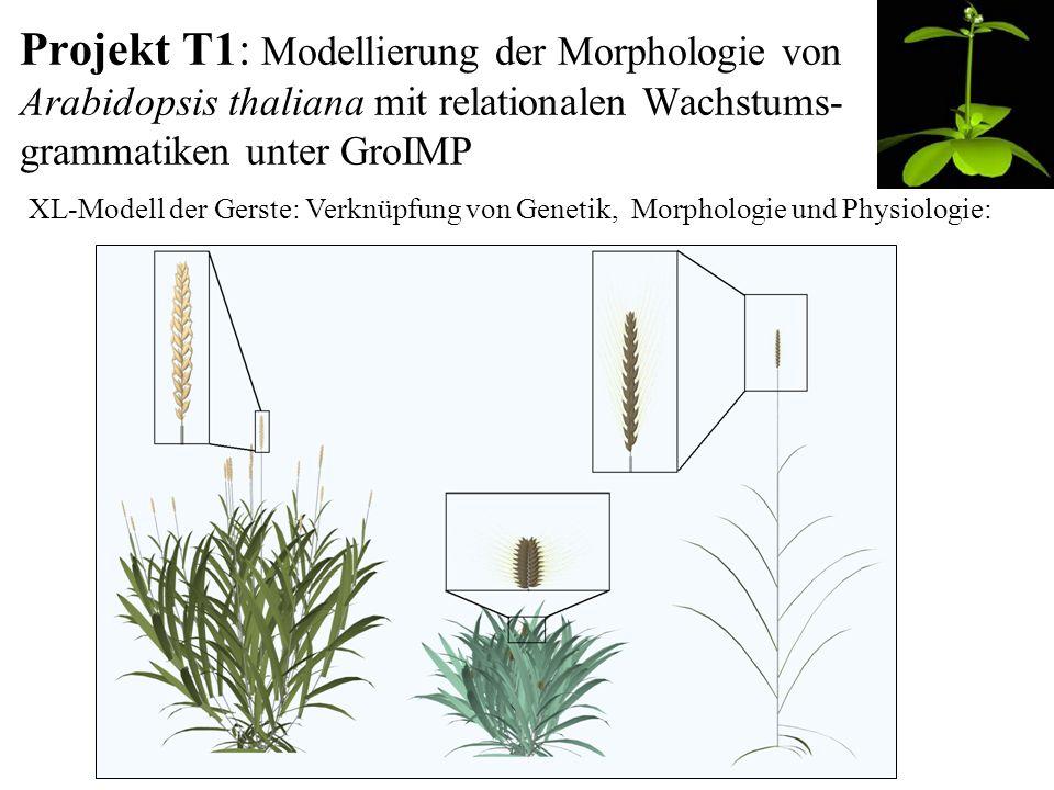 Projekt T1: Modellierung der Morphologie von Arabidopsis thaliana mit relationalen Wachstums- grammatiken unter GroIMP XL-Modell der Gerste: Verknüpfung von Genetik, Morphologie und Physiologie:
