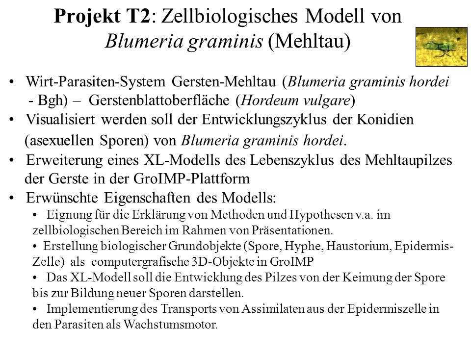 Projekt T2: Zellbiologisches Modell von Blumeria graminis (Mehltau) Wirt-Parasiten-System Gersten-Mehltau (Blumeria graminis hordei - Bgh) – Gerstenblattoberfläche (Hordeum vulgare) Visualisiert werden soll der Entwicklungszyklus der Konidien (asexuellen Sporen) von Blumeria graminis hordei.