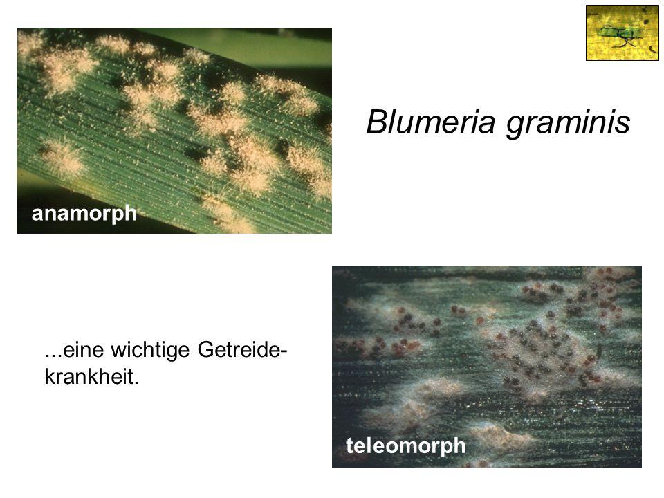 Blumeria graminis...eine wichtige Getreide- krankheit. anamorph teleomorph